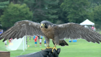 Can you identify this bird of prey? thumbnail